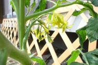 Tomato060620