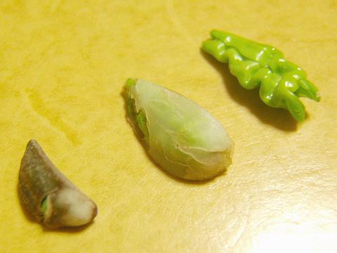 アサガオの種を解剖